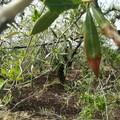 Maltempo, nelle campagne di Molfetta è strage di ulivi. LE FOTO