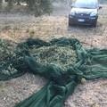 Beccati a rubare olive sulla Molfetta-Terlizzi, fuggono prima dell'arrivo della Metronotte