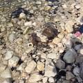Carcassa di tartaruga ritrovata sul litorale di Levante