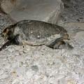 Ancora tartarughe spiaggiate lungo al costa. E' una ecatombe