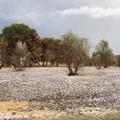 Gelate in Puglia, Confagricoltura: «Bene la declaratoria dello Stato di calamità»
