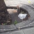 """Corso Umberto  """"salotto buono """" di Molfetta? Si, anche per i topi"""