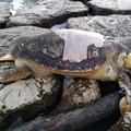 La strage delle tartarughe: altre due ritrovate spiaggiate a Molfetta