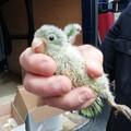 Presi i ladri acrobati di pappagalli: denunciati due 33enni dai Carabinieri