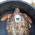 1000 tartarughe liberate in 2 anni, numeri da record per il WWF