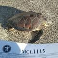 Un raro esemplare di tartaruga verde recuperato a Molfetta