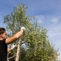 Furti di olive, la Cia: «Vanificato il lavoro e i sacrifici degli agricoltori»