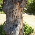 Ancora vandalismo nel parco di Lama Martina: scritte su un albero di ulivo