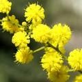L'8 marzo a Molfetta tra feste, mimose e auguri. Ma il vero senso qual è?