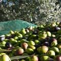 Raccolta della olive. Guardi campestri di Molfetta soddisfatte del lavoro svolto