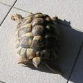 Tartaruga di terra sul nastro trasportatore