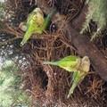 Invasione di pappagalli verdi a Molfetta e dintorni: mandorle devastate