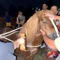Pony fugge dalla stalla: fermato mentre vaga per le strade di Molfetta