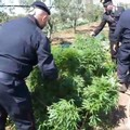 Scoperta una piantagione di canapa indiana. Arrestato un 70enne di Molfetta. VIDEO