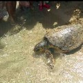 """Riconquistano il mare dieci tartarughe  """"curate """" a Molfetta"""