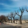 In completamento la potatura degli alberi su viale dei Crociati