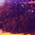 Ancora danni per il vento a Molfetta, cede un albero in Via Ungaretti