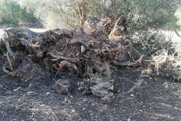 Gli alberi d'ulivo espiantanti a Molfetta
