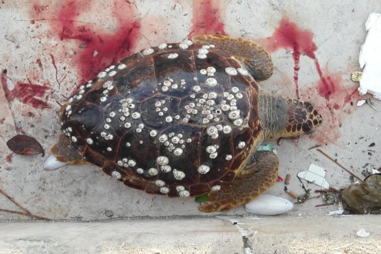 La tartaruga rinvenuta nel porto di Molfetta