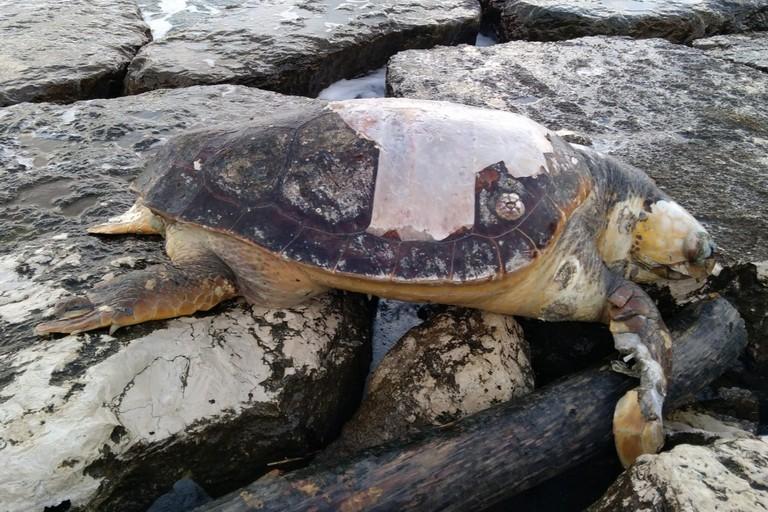 La tartaruga rinvenuta a cala Sant'Andrea