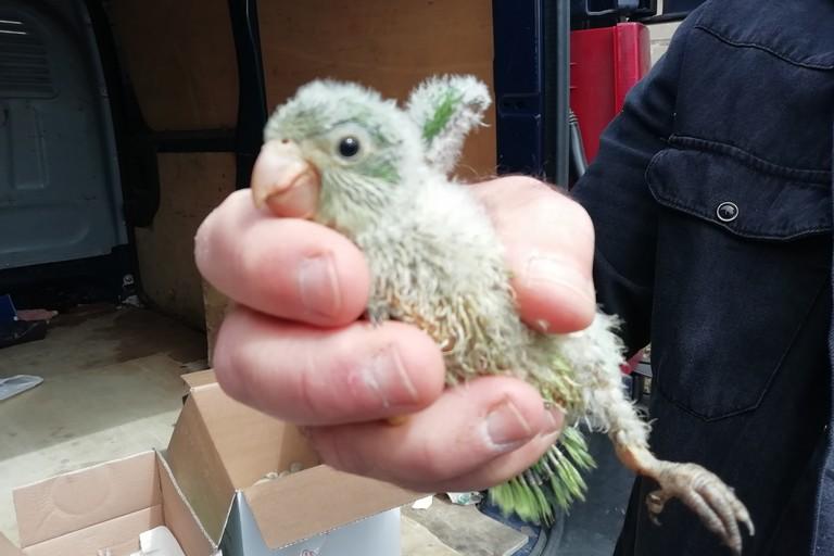 I pappagalli recuperati dai Carabinieri