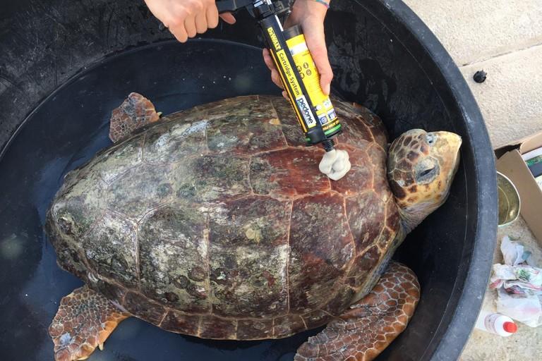 Una delle cinque tartarughe liberate a Bisceglie