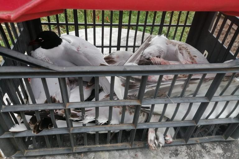 I gabbiani recuperati dalle Guardie Ecozoofile Protezione Ambientale