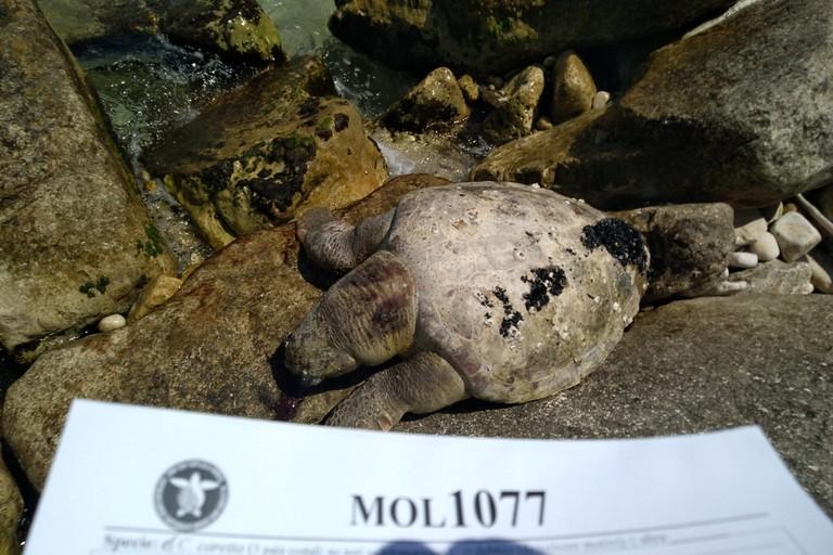 La tartaruga rinvenuta sul lungomare Colonna