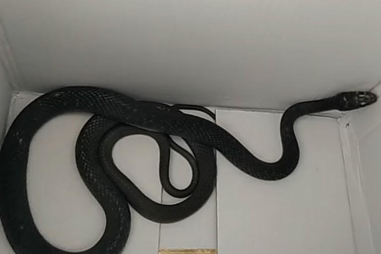 Il serpente recuperato dal WWF
