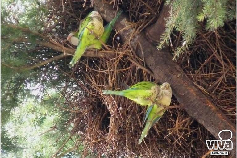 Invasione di pappagalli a Molfetta. Interviene Coldiretti
