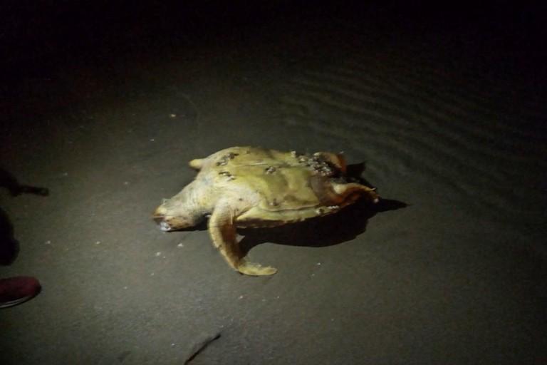 Tartaruga ritrovata senza vita presso Cala Sant'Andrea