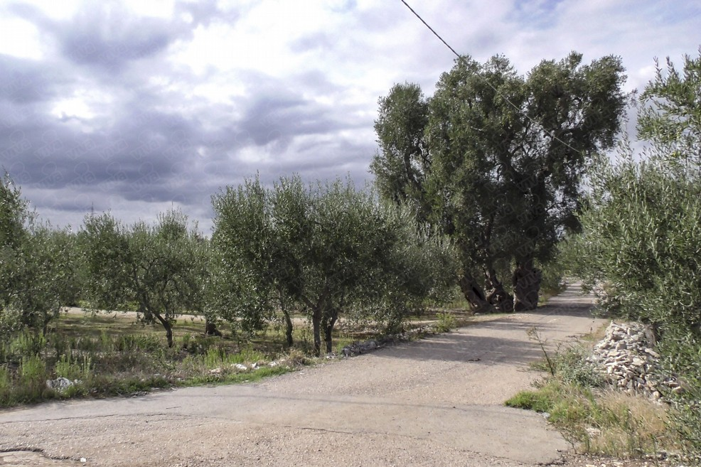 Ulivo di Antignano. <span>Foto Vincenzo Bisceglie</span>